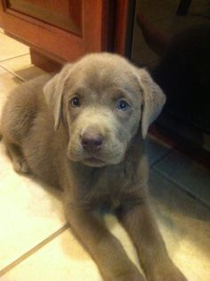 Silver labs steal my heart :)) #puppies #labs #toocute