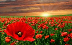Nature flowers landscapes fields poppy poppies color contrast ...