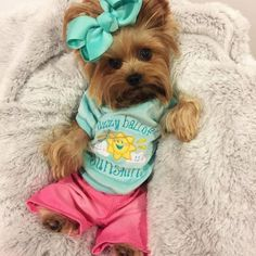The Popular Pet and Lap Dog: Yorkshire Terrier - Champion Dogs Tiny Puppies, Cute Dogs And Puppies, I Love Dogs, Poodle Puppies, Cute Baby Animals, Animals And Pets, Funny Animals, Beautiful Dogs, Animals Beautiful