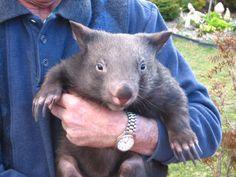 It's Wombat Wednesday!