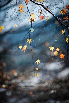 ~ Autumn ~ Autumn Chill & Falling Maple Stars