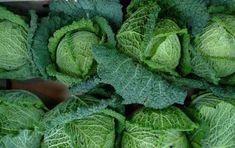 Come cucinare la verza - Con il cavolo verza si possono preparare tanti tipi di  piatti, come insalate cotte o crude, risotti, minestre, contorni ed involtini. Questa verdura è ottima anche farcita.