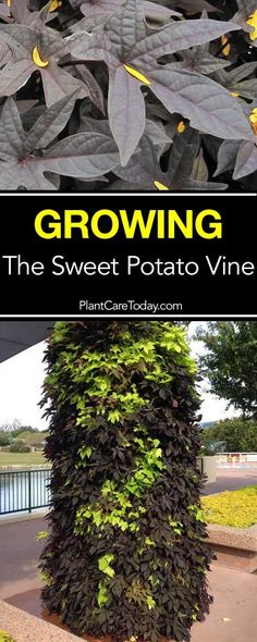 How To Care For Ornamental Sweet Potato Vine Sweet potato vine grow from tubers, used as indoor houseplant or outdoor container plants. Colorful as container garden spillers and in hanging baskets. Potato Vine Planters, Garden Planters, Garden Pests, Glass Garden, Container Flowers, Container Plants, Hydroponic Gardening, Organic Gardening, Gardening Tips