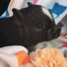 pet pig supplies -- Click visit link above to read Cute Baby Pigs, Baby Animals Super Cute, Baby Piglets, Cute Piglets, Cute Little Animals, Cute Funny Animals, Cute Dogs, Baby Animals Pictures, Cute Animal Photos