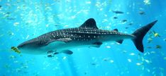 The whale shark is now an endangered animal on the IUCN Red list.
