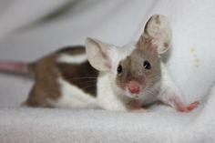 Tricolor Fancy Show Mouse