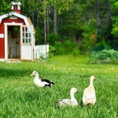Vent Gleet in Backyard Chickens | Fresh Eggs Daily® Fancy Chickens, Backyard Chickens, Fancy Chicken Coop, Poultry Diseases, Brooder Box, Broody, Water Lighting, Dog Crate, Eggs