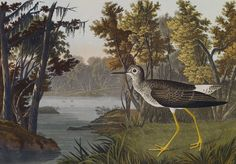 John J Audubon - Yellow Shank.