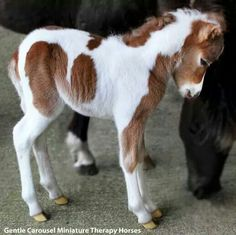 I want one. In my house. It would be kinda like having a dog. Except it's a pony. An adorable miniature pony.