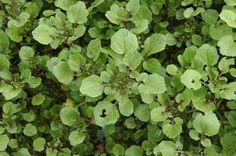 Agrião | Plantas Medicinais - Cultivando.com.br