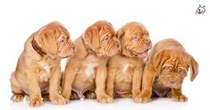 Did you know theese details about our  #Dogue_De_Bordeaux puppies? Click the Link or the image now and learn everything about them ;) http://puppies4all.com/dogue-de-bordeaux-puppies-for-sale/ #dog #doglover #puppy #p4a#puppies #dogs #adorable #lovely #funny #loyal #breeds;