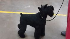 Oso, black miniature schnauzer  SO handsome!!!