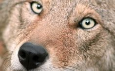 <p>The tragic history of extinction in North America is all to well known and yet, we find ourselves one the brink another extinction event in 2016. The red wolf population has been dwindling since 2006.</p>