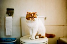 funny face kitty - exotic shorthair