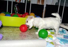 Adorable Paws / B-Wurf Malteser Welpe, 24.12.2014, 5 Wochen alt, Züchter Daniela Krüger