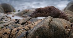Who goes there? | Otter, Tiree, Inner Hebrides | Andrew Wakefield | Flickr