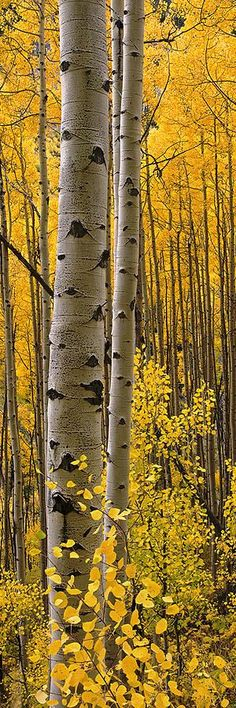 Aspen Intimacy Lite ~ autumn in the Four Corners - by Barry Bailey Found on fineartamerica.com