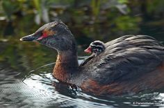 horned grebe chick | Pictures from Birds in Iceland (part 2): Arctic Tern, Horned Grebe ...