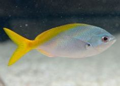 Caesio teres (en) Yellow and Blueback Fusilier, (fr) Caesio à queue jaune, Fusilier à dos jaune et bleu