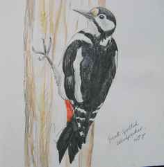 Great Spotted Woodpecker, Sketchbook drawing by Lisa Toppin.