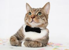 all cats should wear bowties. classy.
