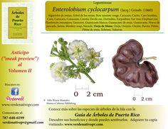 Guanacaste, árbol nativo de Centroamérica... Redescubre nuestros árboles con la Guía de Árboles de Puerto Rico...