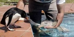 An erect-crested penguin watches as Richard Tesore of Rescate Fauna Marina holds a rescued baby La Plata river dolphin. dream job right there! Cute Baby Animals, Funny Animals, Wild Animals, Animal Babies, Animal Pictures, Cute Pictures, Funny Photos, Unlikely Animal Friends, Fauna Marina