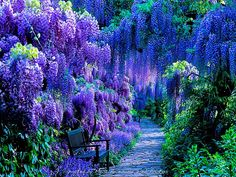 Wisteria bloom, Weinheim, Germany