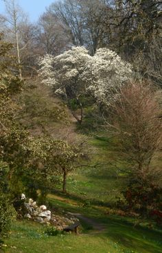Like a snow-capped mountain the masses of flowers of #magnolia denudata stand out at the top of the main valley at #Glendurgan near #Falmouth in #Cornwall  #spring #garden #flowers