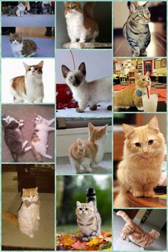 Munchkin cat montage!! Too much of cuteness...
