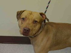 GONE 6-3-2015 --- Manhattan Center ROCKFORD – A1037876  MALE, TAN, AM PIT BULL TER MIX, 1 yr, 7 mos OWNER SUR – EVALUATE, NO HOLD Reason CHILDCONFL Intake condition EXAM REQ Intake Date 05/28/2015
