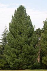 Conifer Seedlings & Transplants