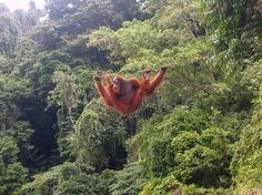 After 10 years of conservation work in Indonesia's Sebangau National Park, the WWF announced in November 2015 in a statement that orangutan numbers in the reserve — which holds the largest wild orangutan population in the world — had risen by 7 percent since 2007, with 5,826 individuals recently counted. However, ongoing efforts will be required to ensure the species' survival, as 70 percent of orangutans live outside of protected areas and are threatened by logging and agricultural…