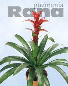 How can I get my Bromeliad to bloom again?