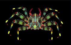 Percnon cf. guinotae Crab Weird Sea Creatures, Beautiful Sea Creatures, Ocean Creatures, Animals Beautiful, Sea Crab, Sea Fish, Under The Ocean, Underwater Creatures, Tier Fotos