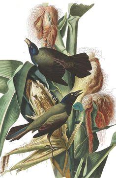 Purple Grakle, or Common Crow Blackbird | John James Audubon's Birds of America