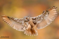 Great Horned Owl in flight by Stefano Ronchi - Photo 179215321 / 500px