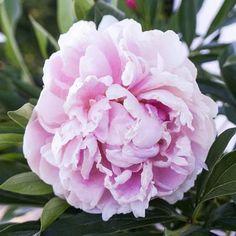 Paeonia 'Sarah Bernhardt'Sarah Bernhardt Peony Types Of Flowers, Cut Flowers, Colorful Flowers, Pink Flowers, Blooming Flowers, Summer Flowers, Rabbit Resistant Plants, Leaf Texture