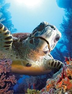 Loggerhead Sea Turtle - an oceanic turtle distributed throughout the world. It is a marine reptile, belonging to the family Cheloniidae. Beautiful Creatures, Animals Beautiful, Cute Animals, Wild Animals, Baby Animals, Nature Animals, Turtle Love, Ocean Creatures, Mundo Animal