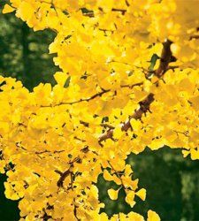 Pack X3 Forsythia Spectablis Perennial Garden Shrub XXL Supersize Plug Plants