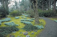 Great white drifts of snowdrops (Galanthus nivalis) carpet an open portion of the woodland garden, along with clumps of pink Cyclamen coum