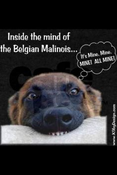 if you know Malinois. Belgium Malinois, Belgian Malinois Dog, Belgian Shepherd, German Shepherd Dogs, German Shepherds, Military Working Dogs, War Dogs, Police Dogs, Mo S