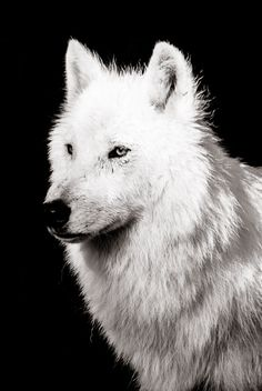 Wolf Wall Art  Wildlife Home Decor   Monochrome Animal by BethWold, $20.00