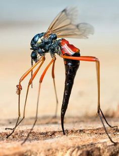 ichneumon fly -- This is not a fly. It's a wasp.