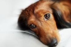 As doenças de fígado são umas das mais comuns em cães e gatos. Conheça cada uma, seus sintomas e como evitar