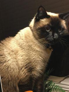I Love Siamese Cats !