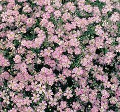 Gypsophila Garden Bride Pink 40 Seeds