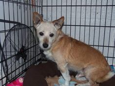 """Please network for """"Pac Man,"""" a 12-yr old Jack Russell terrier who has been living at Griffith Animal Control for a year. Soon after his arrival, it was realized that he was almost completely blind and he's very scared. He does well w/workers that take a minute to talk w/him, but he desperately needs a foster home for more stability. Click for link to his FB page. Email f/Pac Man's advocate: Northwestindianapound@aol.com"""