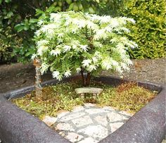 An old Miniature Garden with the Moonfrost Canada Hemlock