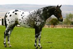 Appaloosa Horse Stand In The Field Caballos Appaloosa, Appaloosa Horses, Friesian Horse, Palomino, Pretty Horses, Beautiful Horses, Champs, Different Horse Breeds, Indian Horses